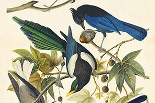 Yellow-billed Magpie, Steller's Jay, Western Scrub-Jay, and Clark's Nutcracker (with the copper plate)