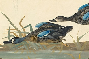 Cinematic Birds in the Watercolor Models for The Birds of America