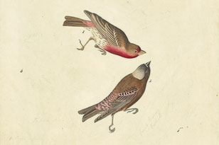 House Finch, Gray-crowned Rosy-Finch, Lazuli Bunting, Brown-headed Cowbird, Evening Grosbeak, and Fox Sparrow