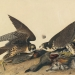Peregrine Falcon (Falco peregrinus): Off the Endangered Species List