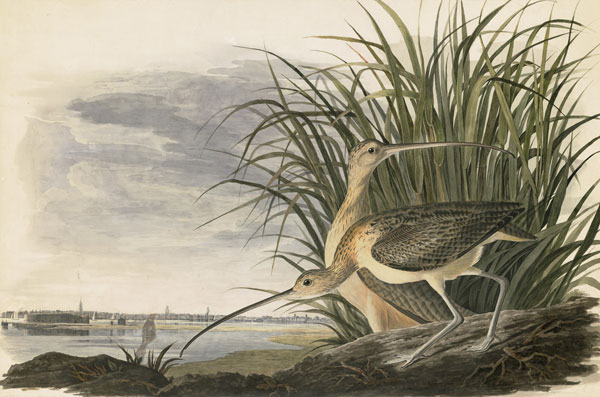 <i>Long-billed Curlew (</i>Numenius americanus<i>), Havell pl. 231</i>, 1831