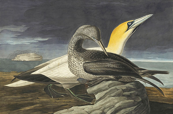 John James Audubon (1785–1851)<br /><em>Northern Gannet (</em>Morus bassanus<em>), Havell pl. 326</em>, 1833