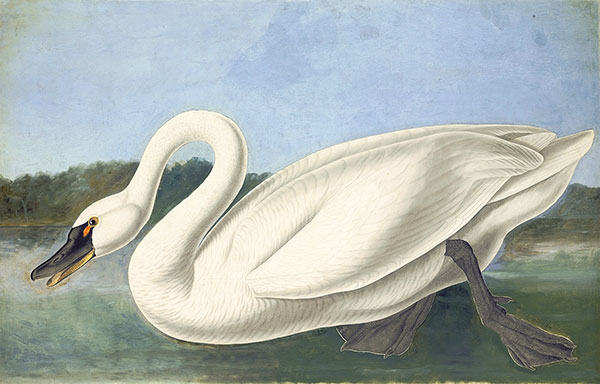John James Audubon (1785–1851)<br /><em>Tundra Swan (</em>Cygnus columbianus<em>), Study for Havell pl. 411</em>, 1838
