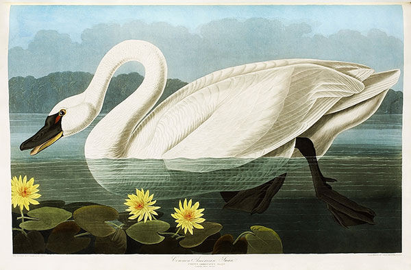 Figure 1. Robert Havell Jr. after John James Audubon, Plate 411, <em>The Birds of America</em><br />(1827–38), N-YHS, Department of Prints, Photographs, and Architectural Collections