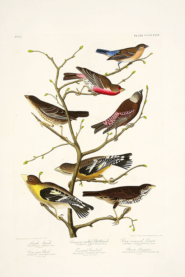 Figure 1. Robert Havell Jr. after John James Audubon, Plate 424, <em>The Birds of America</em> (1827–38), N-YHS, Department of Prints, Photographs, and Architectural Collections