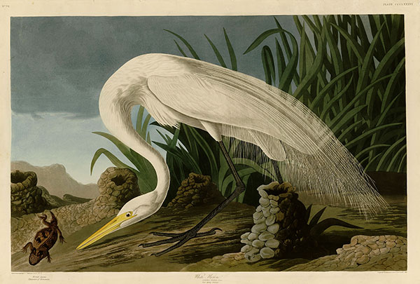 Figure 3. Robert Havell Jr. after John James Audubon (1785–1851), Plate 386, <em>The Birds of America</em> (1827–38), courtesy of Darlington Library, University of Pittsburgh, Pennsylvania