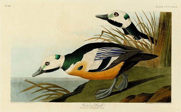 Figure 1. Robert Havell Jr. after John James Audubon, Plate 429, <em>The Birds of America</em> (1827–38), N-YHS, Department of Prints, Photographs, and Architectural Collections