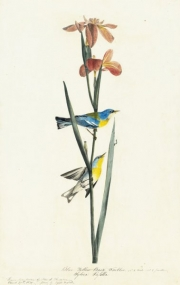 Northern Parula (Parula americana), Study for Havell pl. 15, 1821