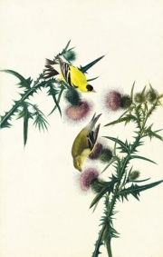 American Goldfinch (Spinus tristis), Study for Havell pl. 33, 1824