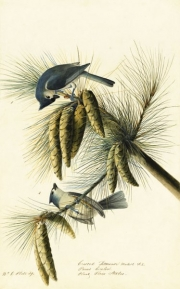 Tufted Titmouse (Baeolophus bicolor), Study for Havell pl. 39, 1822