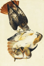 Red-tailed Hawk (Buteo jamaicensis), Study for Havell pl. 51, 1821; reworked later