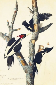 Ivory-billed Woodpecker (Campephilus principalis), Study for Havell pl. 66, ca. 1825–26 EXTINCT?