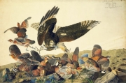 Northern Bobwhite (Colinus virginianus) and Red-shouldered Hawk (Buteo lineatus), Study for Havell pl. 76, ca. 1825