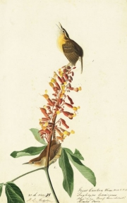 Carolina Wren (Thryothorus ludovicianus), Study for Havell pl. 78, 1822