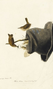 House Wren (Troglodytes aedon), Study for Havell pl. 83, ca. 1824–29