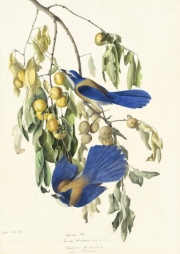 Florida Scrub-Jay (Aphelocoma coerulescens), Study for Havell pl. 87, 1829