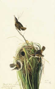 Marsh Wren (Cistothorus palustris), Study for Havell pl. 100 (variantly numbered pl. 98, as in N-YHS copy), 1829