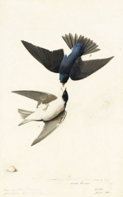 Tree Swallow (Tachycineta bicolor), Study for Havell pl. 98 (variantly numbered pl. 100, as in N-YHS copy); sketches of an egg and a feather, 1824