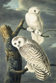 Snowy Owl (Bubo scandiacus), Study for Havell pl. 121, 1829