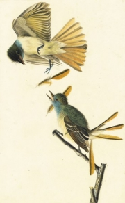 Great Crested Flycatcher (Myiarchus crinitus), Study for Havell pl. 129, ca. 1824