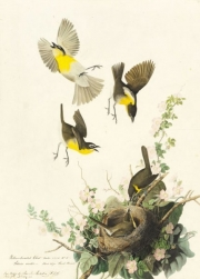 Yellow-breasted Chat (Icteria virens), Study for Havell pl. 137, 1829
