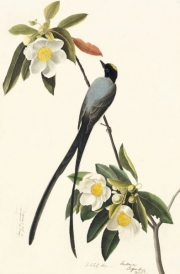 Fork-tailed Flycatcher (Tyrannus savana), Study for Havell pl. 168; sketch of a feather, 1832