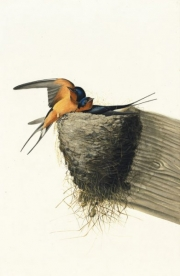 Barn Swallow (Hirundo rustica), Study for Havell pl. 173, 1832