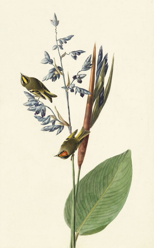 Golden-crowned Kinglet (Regulus satrapa), Havell pl. 183, 1831