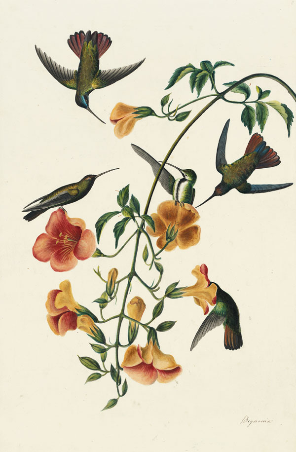 Black-throated Mango (Anthracothorax nigricollis), Havell pl. 184, ca. 1832
