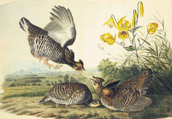 Greater Prairie-Chicken (Tympanuchus    cupido<em>), </em><br />       <em>Havell    pl. 186</em>, 1824