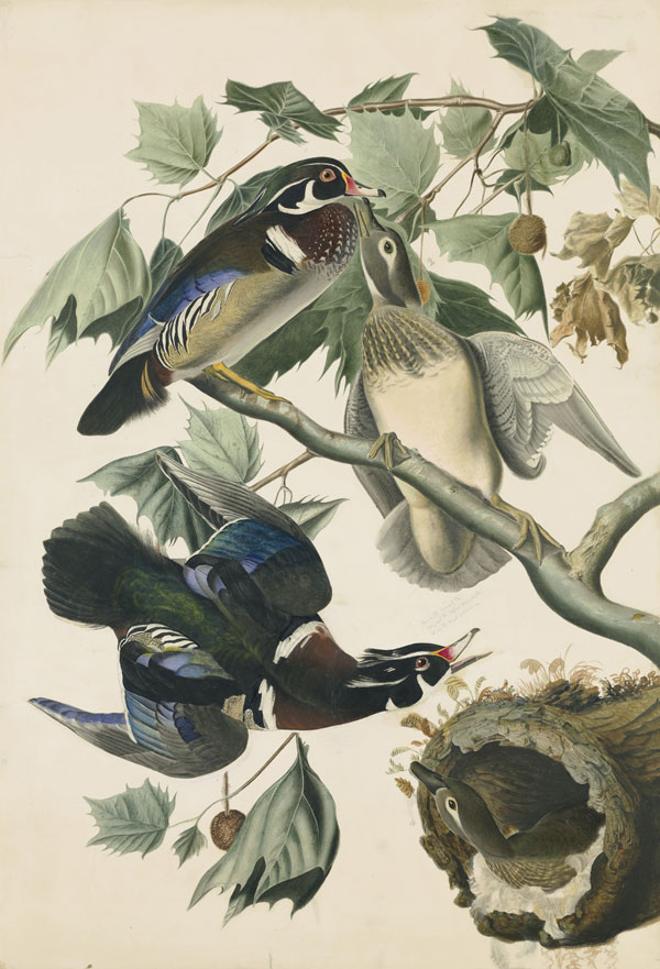 Wood Duck (Aix sponsa), Havell pl. 206, 1821; ca. 1825