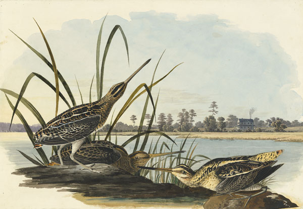 Wilson's Snipe (Gallinago delicata), Havell pl. 243, 1832