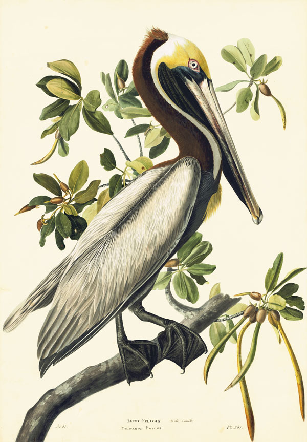 Brown Pelican (Pelecanus occidentalis), Havell pl. 251, 1832