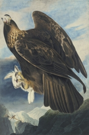 Golden Eagle (Aquila chrysaetos), Havell pl. 181, 1833