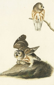 Northern Saw-whet Owl (Aegolius acadicus), Havell pl. 199, ca. 1833