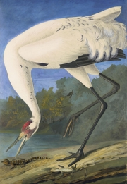 Whooping Crane (Grus americana), Havell pl. 226, 1821–22; 1829–33