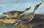 Northern Pintail (Anas acuta), Havell pl. 227, 1822