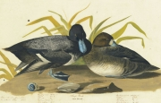 Greater Scaup (Aythya marila), Havell pl. 229, 1822