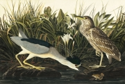 Black-crowned Night-Heron (Nycticorax nycticorax), Havell pl. 236, 1832