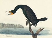 Double-crested Cormorant (Phalacrocorax auritus), Havell pl. 252, 1832