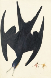 Magnificent Frigatebird (Fregata magnificens), Havell pl. 271; with two studies of a foot, 1832
