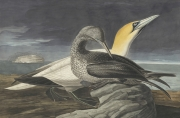 1863_17_326_NorthernGannet_OE
