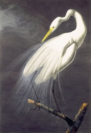 Great Egret (Ardea alba), 1821