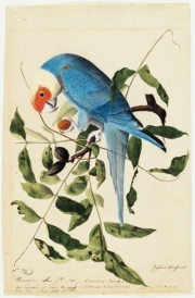Carolina Parakeet (Conuropsis carolinensis), Study for Havell pl. 26, ca. 1825 EXTINCT
