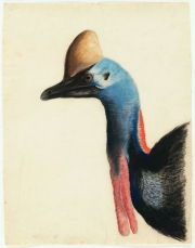 Head of a Southern Cassowary, 1812