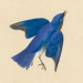 Eastern Bluebird (Sialia sialis): Success Story