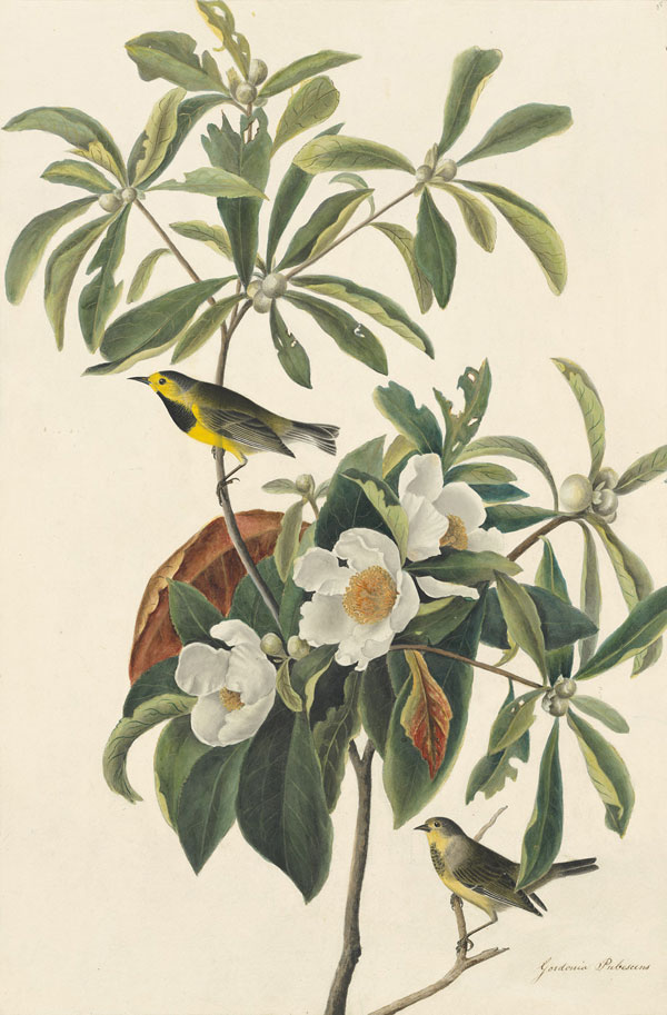 John James Audubon (1785-1851) and Maria Martin (1796-1863) <i>Bachman's Warbler (</i>Vermivora bachmanii<i>), Study for Havell pl. 185</i>, 1833 EXTINCT ?