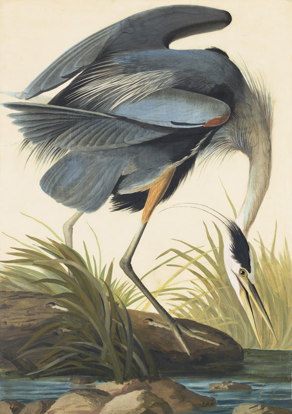 John James Audubon (1785-1851) <i>Great Blue Heron (</i>Ardea herodias<i>), Study for Havell  pl. 281</i>, 1832