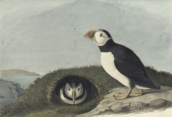 <i>Atlantic Puffin (</i>Fratercula arctica<i>), Study for Havell pl. 213</i>, 1833