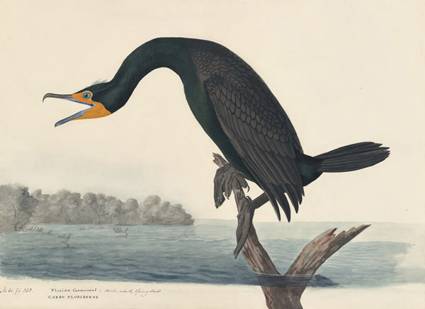 John James Audubon (1785–1851) <i>Double-crested Cormorant (</i>Phalacrocorax auritus<i>), Havell pl. 252</i>, 1832